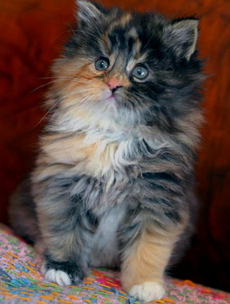 Best Gorgeous Cats Images On Pinterest Kitty Cats Beautiful - Meet the ridiculously fluffy kitty thats more cloud than cat