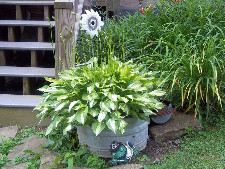 Hosta's in wash tubs are great! love the look and they come back every year with no trouble!