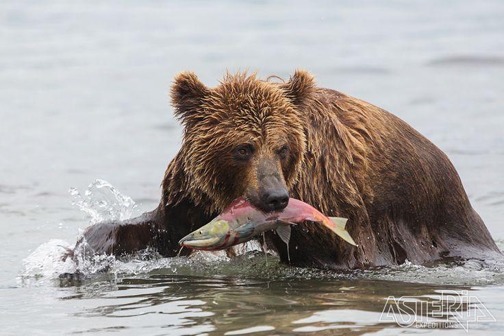 De ideale bestemming voor wie bruine beren wil spotten