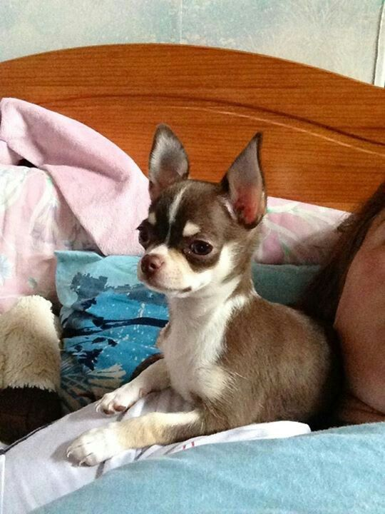 how much does a chihuahua cost chihuahua pets pinterest chihuahuas pretty much and 4240