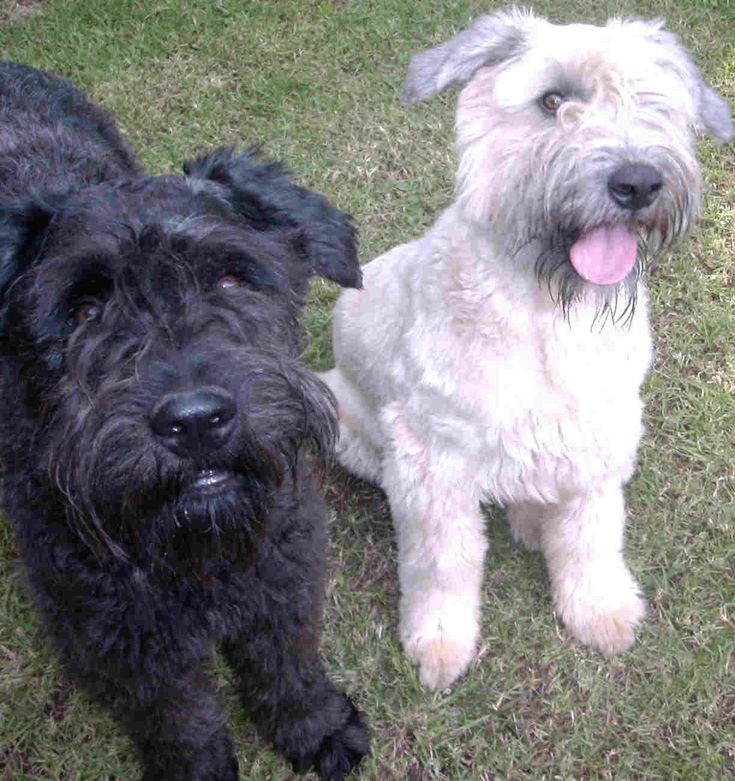 Bouvier Des Flanders dog photo | These Bouviers belong to Natasha Mauer