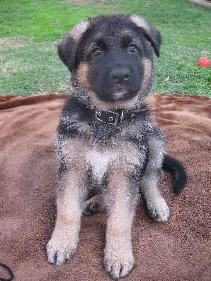 German Shepherd Dog S Our Puppy Titan 2014 Germanshepherd