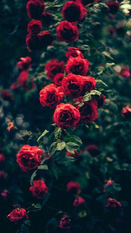 Schöner Garten Rote Rosen Blumen iPhone 6 Wallpaper Schöne …