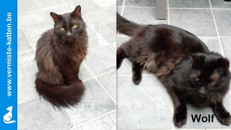 Pin van Vermiste Katjes op kat Katten, Wolf, Mist