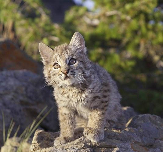Baby Black Bobcat | www.pixshark.com - Images Galleries ...