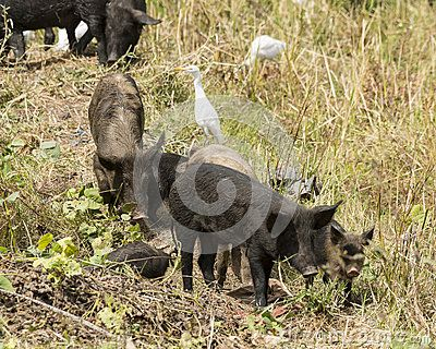 Cattle egret (Bubulcus ibis)  and pigs in the time of eating in Serrekunda in Gambia. West Africa