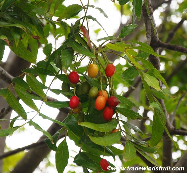 KAFFIR PLUM (Harpephyllum caffrum) - A red fruit, somewhat like a smaller and oval shaped plum. Has red pulp that is fairly sour to the taste, through tasty, and has a variety of edible uses. The tree is also enjoyed as a low-care ornamental in subtropical and tropical regions alike.
