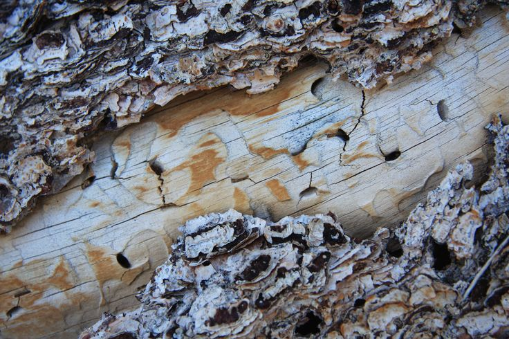 Beetle_tracks_under_pinyon_bark.jpg (3888×2592)
