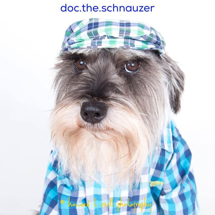 """87 Likes, 5 Comments - Doc the Schnauzer (@doc.the.schnauzer) on Instagram: """"Meet the newest member of the Robertson (Duck Dynasty) clan - Doc Robertson! He will be in charge…"""""""