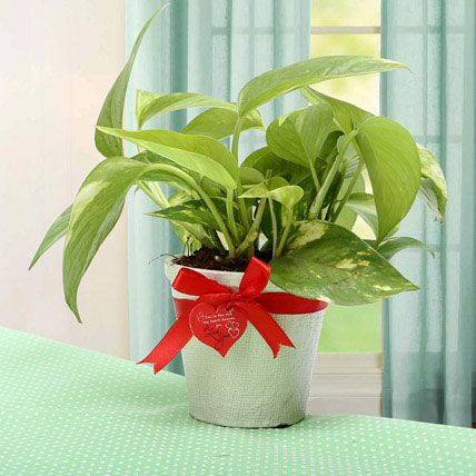 Grab The Luck Money Plant – sjh