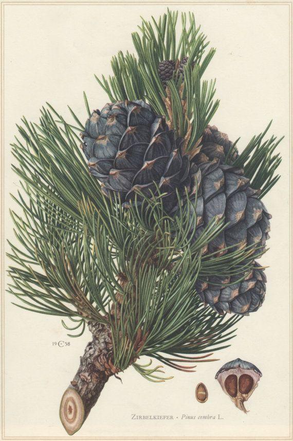 1960 Vintage Botanical Print Pinus cembra Swiss by Craftissimo