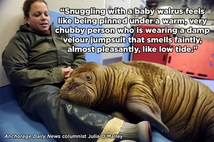 [Article] One reporter shares her cuddle session with two 4-month-old walruses at the Alaska SeaLife Center before their transfer to the Indianapolis Zoo and New York Aquarium.