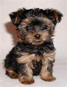 Mini Yorkie Teacup yorkie price