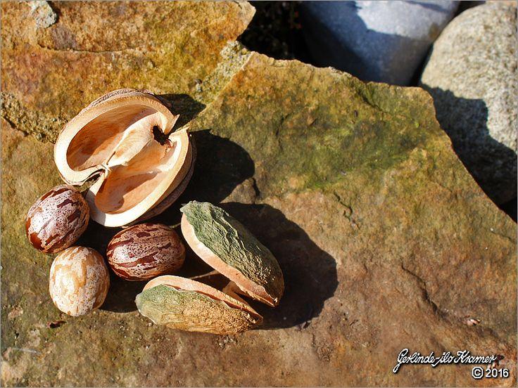 Ein NaturGeschenk aus Indien  KautschukSamen/Kapseln