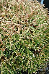 Click to view a full-size photo of Golden Tuffet Arborvitae (Thuja occidentalis 'Golden Tuffet') at Oakland Nurseries Inc; 2017