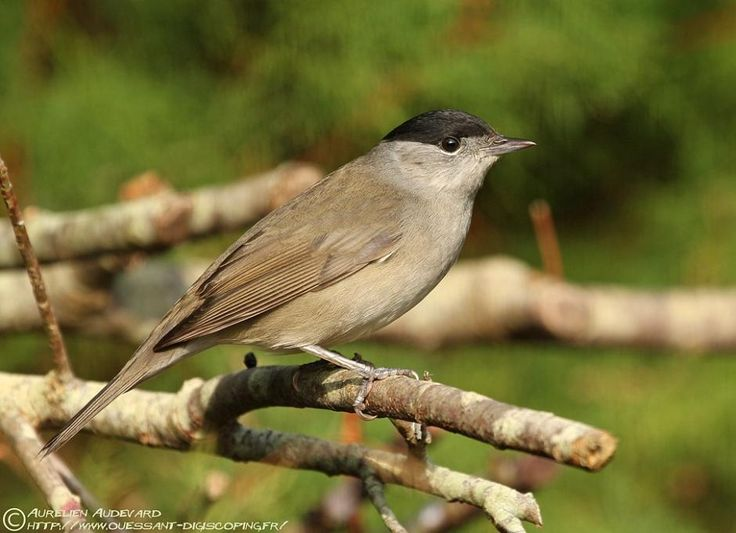 Blackcap (Sylvia atricapilla) male first winter