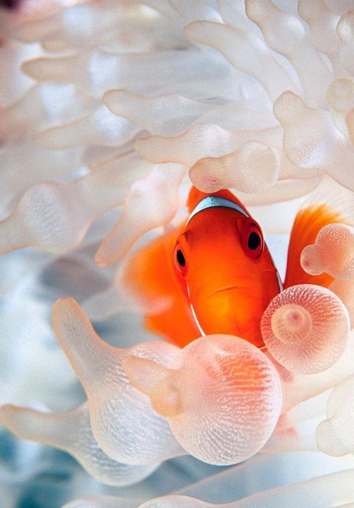Pez payaso. «Buscando a Nemo».