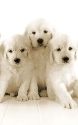 Beautiful English Goldendoodles from TeddyBearGoldendoodles.Com. Just got one! So cute!