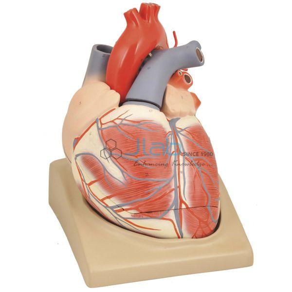 Heart Model India, Heart Model Manufacturer, Biology Lab