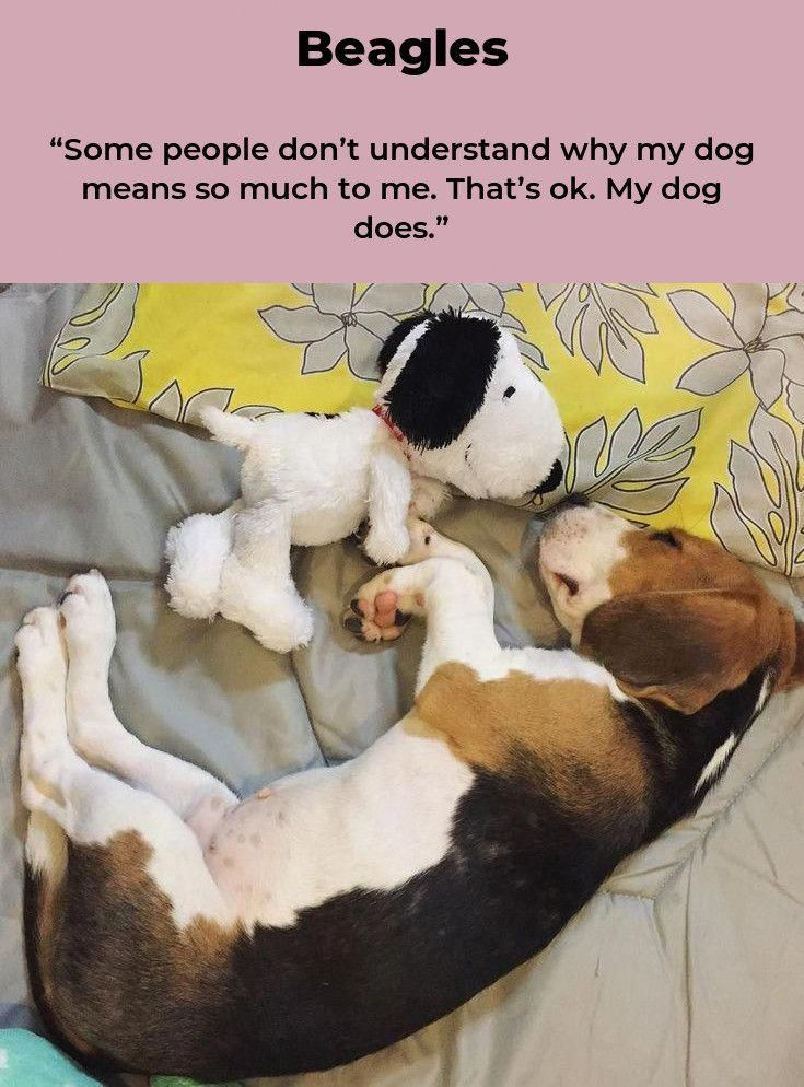 Extra About The Glad Beagle Canine Train Wants #beagleloveit #beaglelovers #beag…