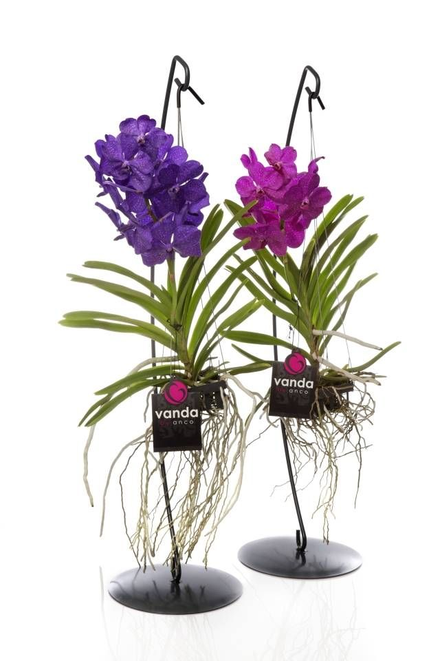 Vanda orchids hanging from stands                                                                                                                                                                                 More