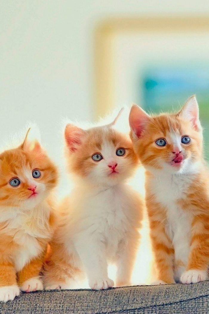 Golden Kitten Wallpaper Iphone Kitten Wallpaper Cute Cats And