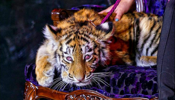 Urgent Help Needed to Rescue Endangered Tiger Cub From Terrible Life in Casino