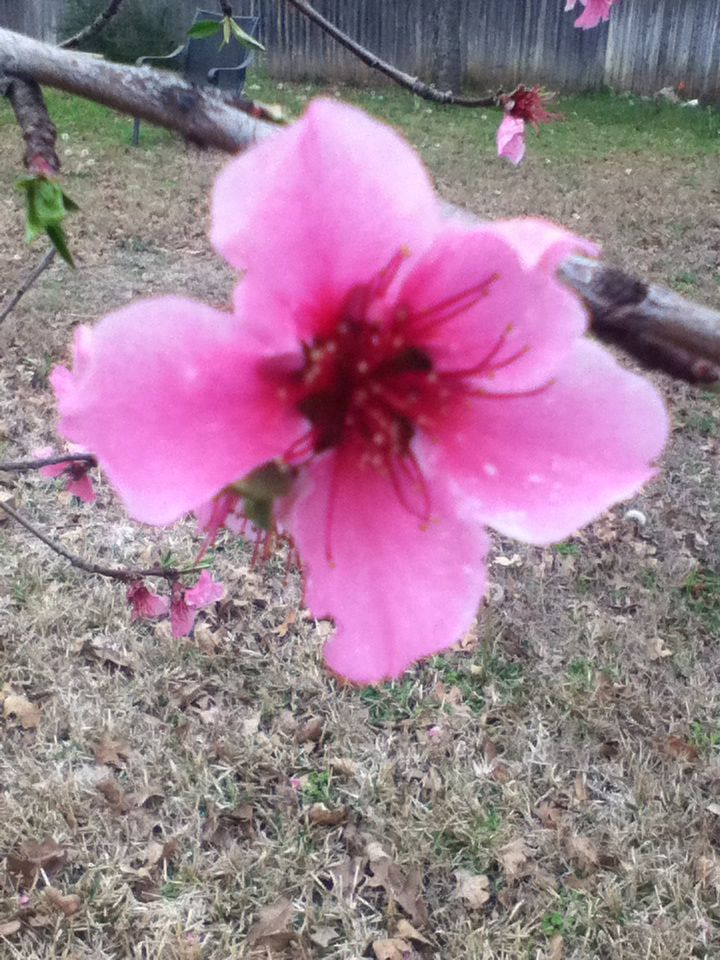 Pretty flower from peach tree