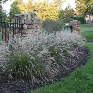 Pennisetum 'Karley Rose' Flower spikes from early June to August. 3 feet tall and 2 to 3 feet wide. Full sun to part shade.