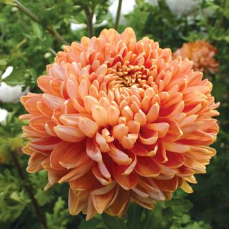 chrsanthemum chessington | Chrysanthemum 'Salmon Chessington'