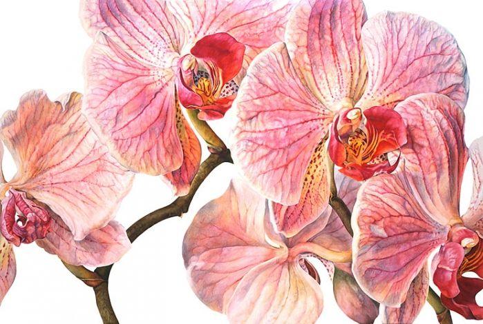 Phalaenopsis Follet