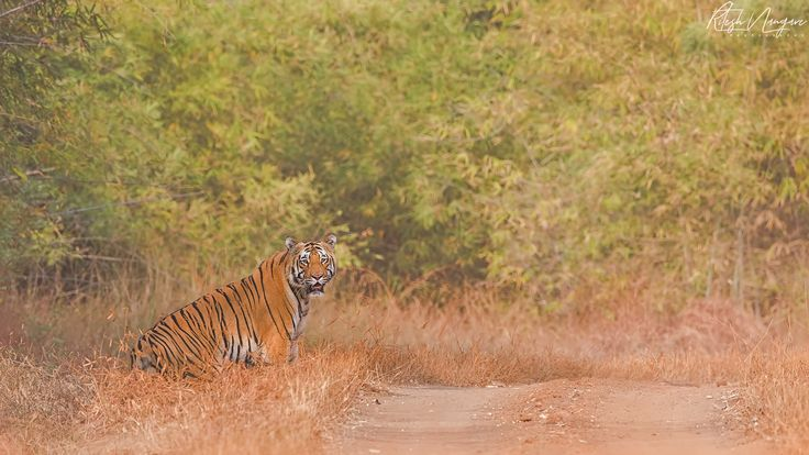 The Entry ..... - Matkasur,  Dec 2015, Tdoba, ChandraPur, India, this is an one of the best sightings i ever have in tadoba. Matkasur the dominating male from Pandharponi area. this male spend near 20 min infront of our jeep, had ton of images of him. this is the entry image i will post following images very soon.... Canon 1dx, Canon 500mm+1.4 TC, f/8, iso-400 .... Enjoy.......
