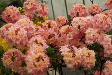 Azalea (azalia wielkokwiatowa) Arista - Azalie, krzewy ozdobne, kwitnące, szkółka krzewów, ogrody japońskie