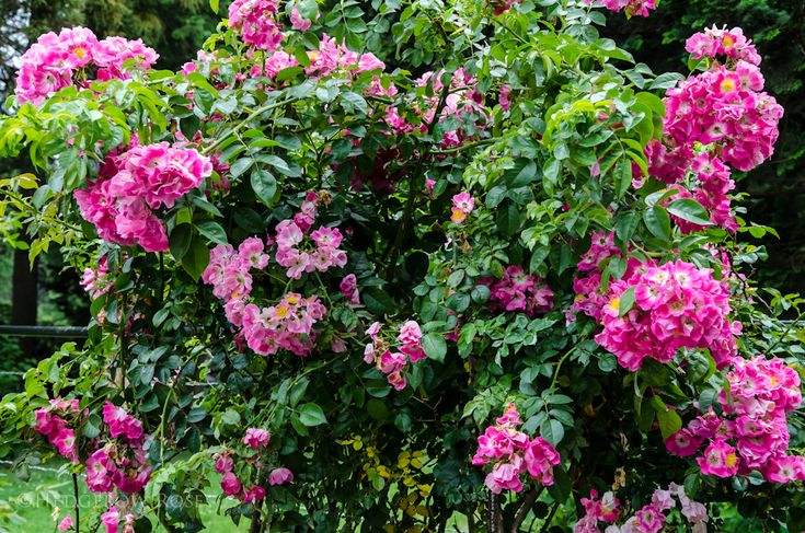 'American Pillar' at Elizabeth Park Rose Garden