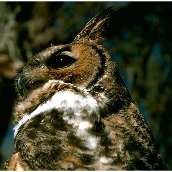 The natural habitat of owls is as diverse as the types of owls found in the world. From forests to deserts to open fields or buildings, owls pretty much call anywhere home.