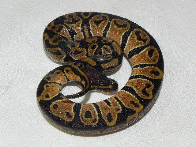 Snakes at Sunset - Baby Ball Pythons for sale (Python regius), $22.99 (http://www.snakesatsunset.com/baby-ball-pythons-for-sale-python-regius/)