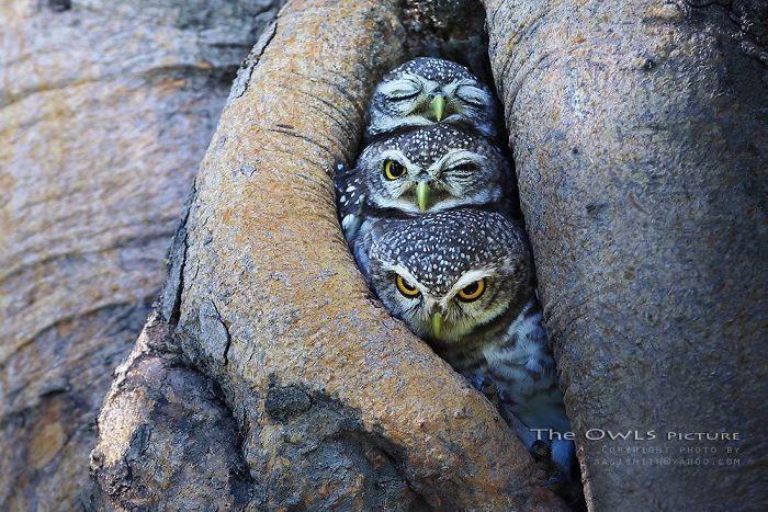 The Pop Trio Owls