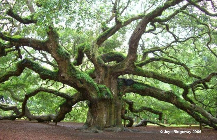 Visiting Charleston, SC? - Angel Oak is a Must
