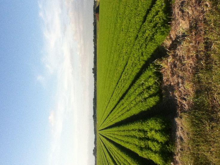 Carrotfields