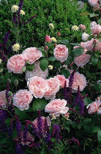 Buy Rose & Salvia Plant Combination Rose & Salvia 'Combination': Delivery by Crocus