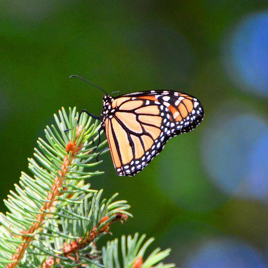 Back Yard Monarch