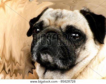 Blonde Pug female