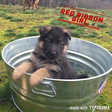 German Shepherd Dog puppy for sale in BATTLE GROUND, WA. ADN-64578 on PuppyFinder.com Gender: Female. Age: 6 Weeks Old
