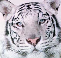 El tigre de Bengala o indio (Panthera tigris tigris) es, después del tigre siberiano, la segunda especie de tigre más grande del planeta. Mide tres metros de largo y pesa entre 260 y 290 kilogramos. Su situación actual es alarmante y es por eso que se han creado 8 nuevas reservas para su preservación en la India.
