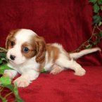 Lola is a female Cavalier King Charles Spaniel puppy for sale at PuppySpot. Call us today to learn more (reference 538789 when you call).