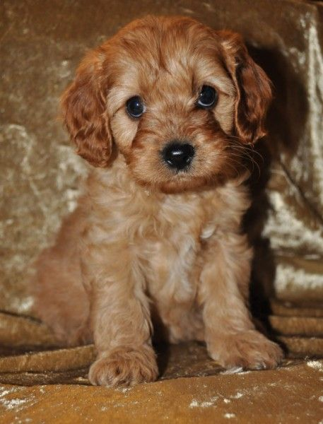 Cavoodle Puppies Pinterest Dog and Animal