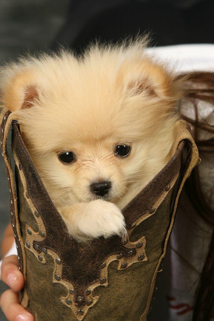 Miki the Pomeranian