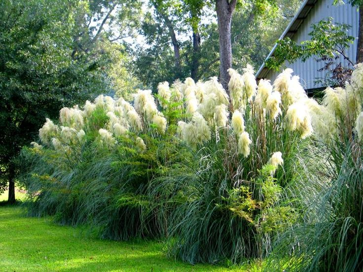Pampas grass hedge-- may do this in back behind parking pad as a natural fence