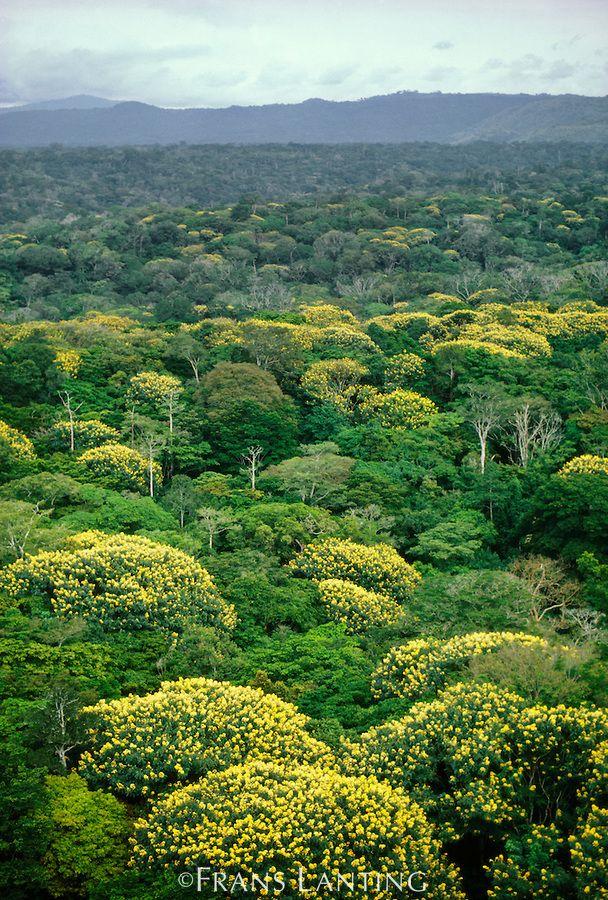 Tropical rainforest in bloom (aerial), D.R. Congo                                                                                                                                                                                 Mais