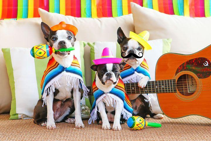 Boston Terrier Mariachi Band Celebrating Cinco de Mayo! Cute puppies!
